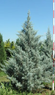 Cupressus arizonica 'Blue Ice' - Blue Ice Arizona Cypress