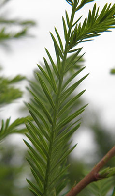 Taxodium distichum 'Frio'