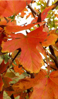 Acer saccharum `Legacy` - Legacy Sugar Maple
