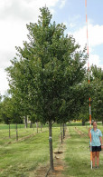 Acer rubrum 'HOSR' - Summer Red™ Maple