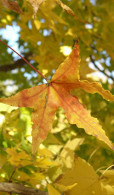 Acer truncatum - Shantung Maple