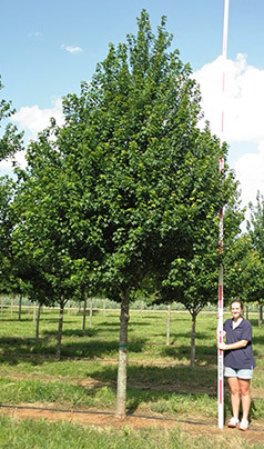 Acer rubrum 'Sun Valley'