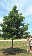 Quercus bicolor - Swamp White Oak